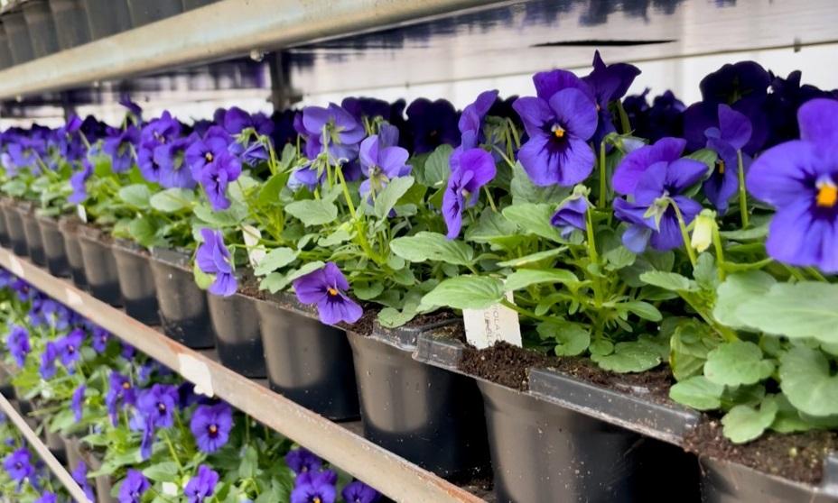 35.000 viooltjes aangekomen in Kasteeltuinen Arcen